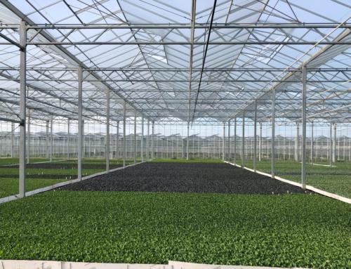 Gewächshausanlage für Kohlpflanzen, Schülp